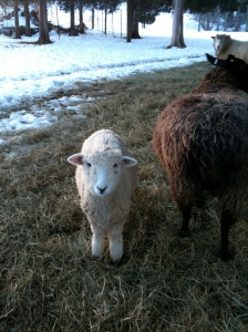 Beautiful Romney Lamb